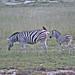 Etosha National Park impressions, Namibia - IMG_3261_CR2_v1