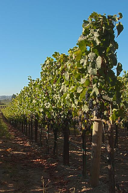 Row of Vines in Nearby Vineyard