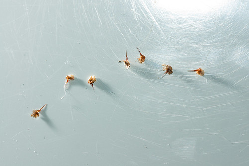 Honey Bee Stingers