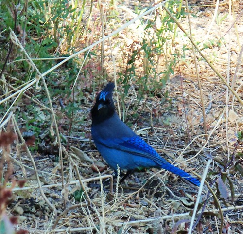 Stellar Jay... by ruthiequilts