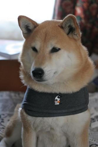 1 October 2012 Bowdu in Thundershirt -- poofy neck