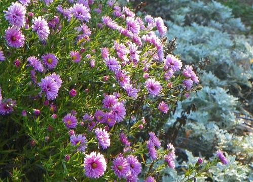 Aster dumosus 'Pink Bouquet' and Artemisia 'Silver Brocade'