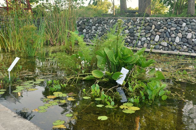 Lotus Conservation Pond