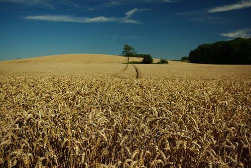 20120908-07_Warwickshire Farmland - Wheat Field - Close Focus by gary.hadden