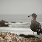 Seagull on Monterey Bay