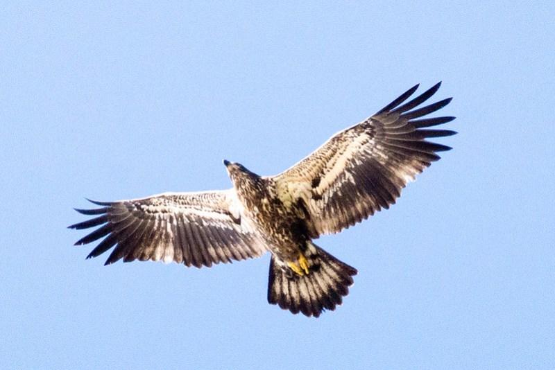 _DSC4502 Bald Eagle (j)