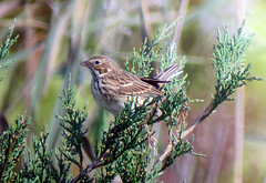 Vesper Sparrow, Whippany, NJ, Oct. 21, 2012