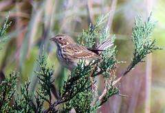 Vesper Sparrow, Whippany, NJ, Oct. 21, 2012