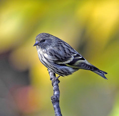Pine Siskin (Carduelis pinus) - Overleigh Sanctuary, Bernardsville, New Jersey