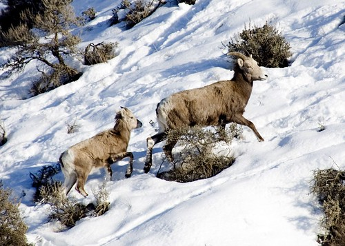Mama mountain sheep and her baby by CharlotteKinzie