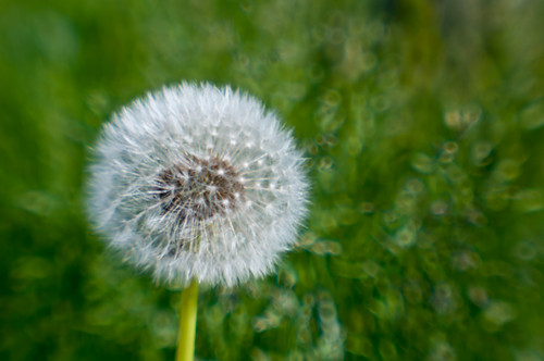 dandelion_lensbaby by Phynyght Studio
