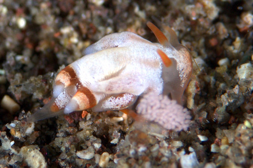コウライニンジンウミウシの産卵