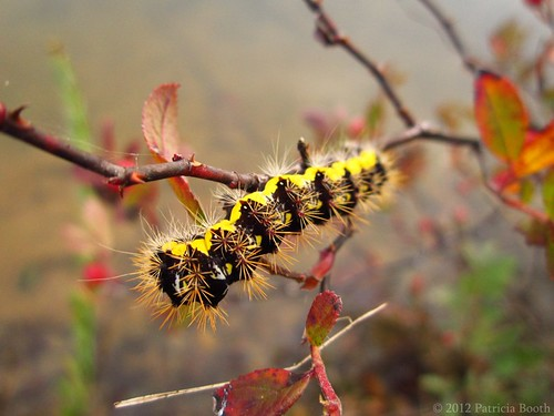 Day 291 Autumn Caterpillar by pixygiggles