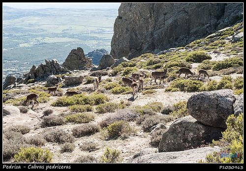 Cabras pedriceras