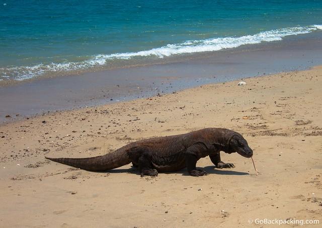 Fact: Komodo dragons can swim!