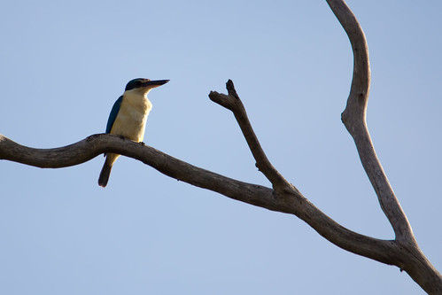 Sacred Kingfisher 2012-10-20 (_MG_5856)