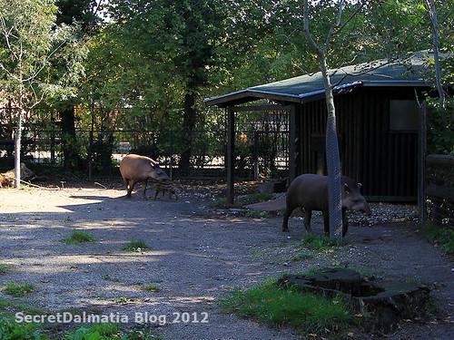 Boni - baby tapir