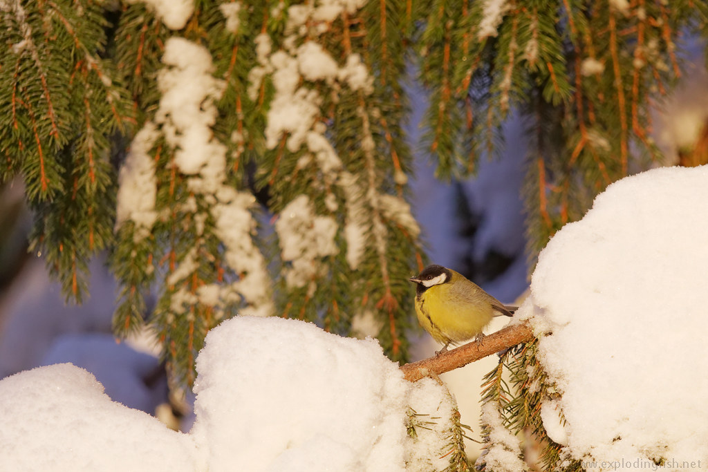 A great tit with snow on its beak