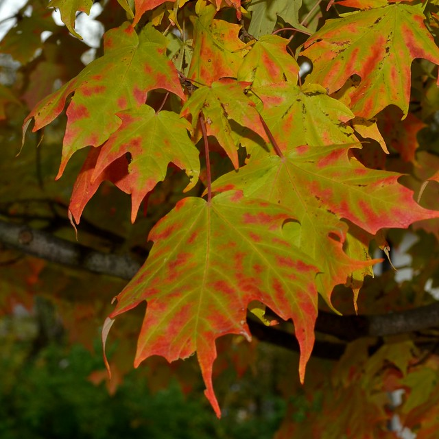 Green and Red Leaves 1