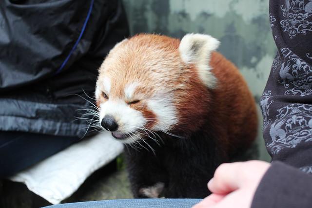 Chewing Panda