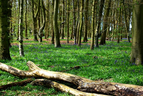 20120421-05_Bluebells in Cawston Woods - Rugby by gary.hadden