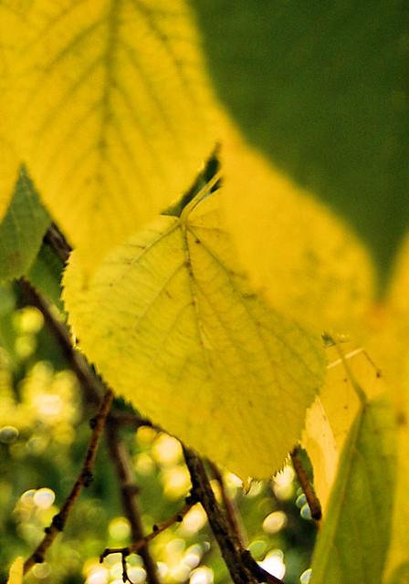 Fall lemon leaves (6)