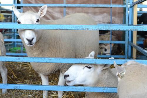 Oct20-Sheep2