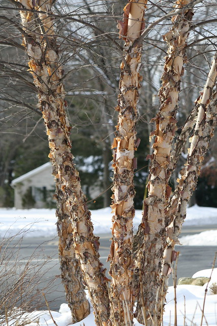 peeling birch trees