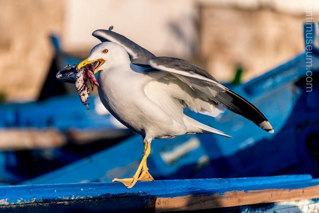 Seagull eating dead fish in Essaouira