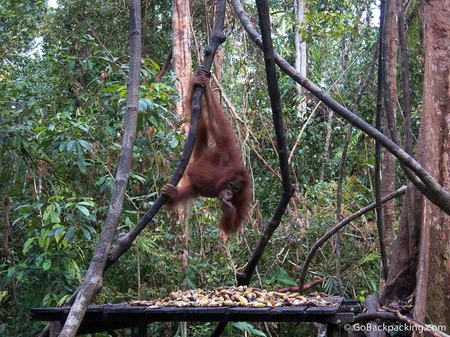 An orangutan grabs bananas provided by the park rangers