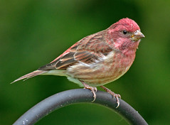 Purple Finch (Carpodacus purpureus) -  Overleigh Road, Bernardsville, NJ