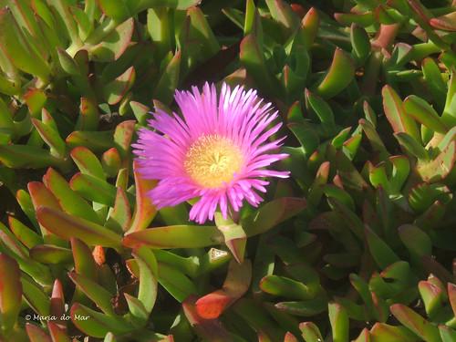 Flores - Chorão, 2012 by lusografias