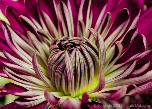 Chrysanthemum | Englewood, CO | January, 2013 by Somnath Mukherjee Photoghaphy