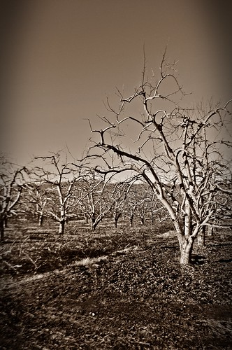 Bare Winter Orchard II by dogfrog