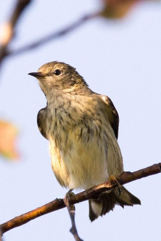 _DSC3501  Cape May Warbler