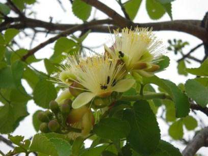 flor de pequi