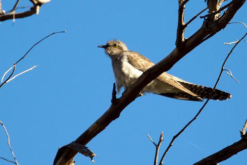 Pallid Cuckoo 2012-11-11 (_MG_6580)