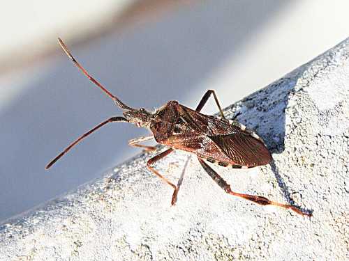 Leptoglossus occidentalis Sagres, Portugal October 2012