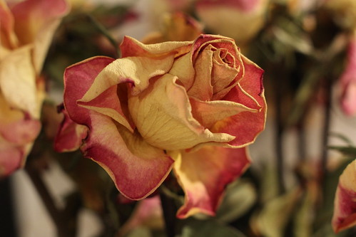 Dried Roses - Test Shot - Canon EOS 60D with Canon FD Fit 50mm 1:18   FD-EOS macro converter by TempusVolat