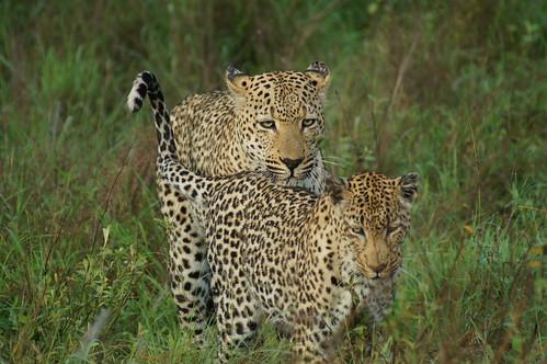 Amorous Leopards