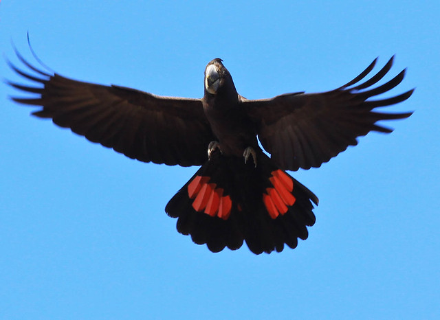 The Red-tailed Black Cockatoo (Calyptorhynchus banksii)