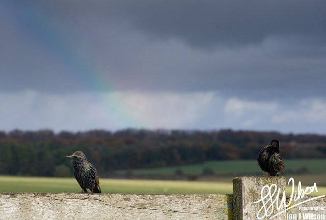 Starlings and Rainbow