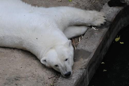 Eisbärin Cora im Zoologischen Garten Brno