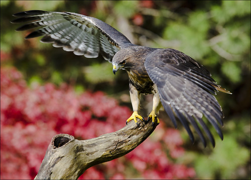 Red-tailed Hawk 6