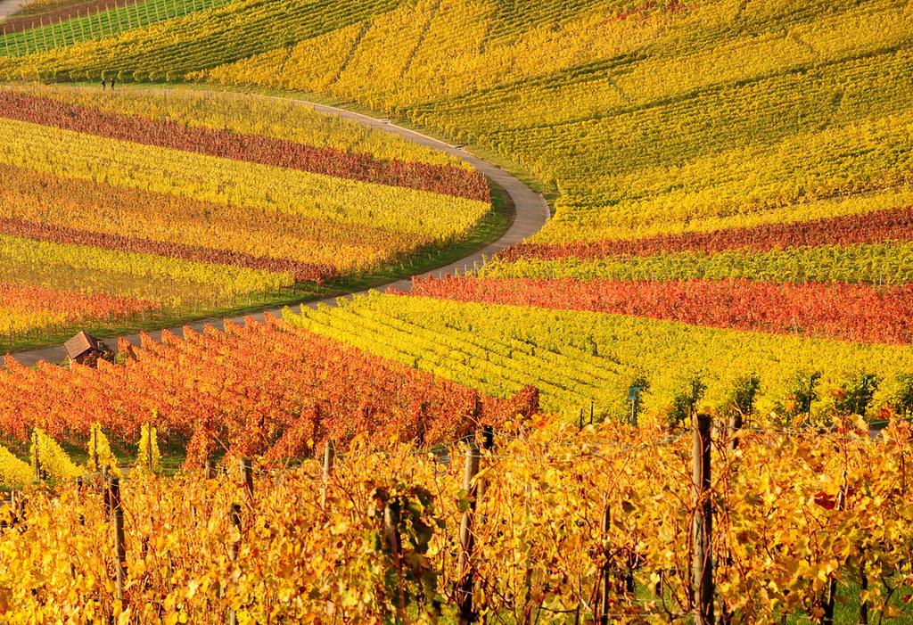 Curve in Autumn Vineyards