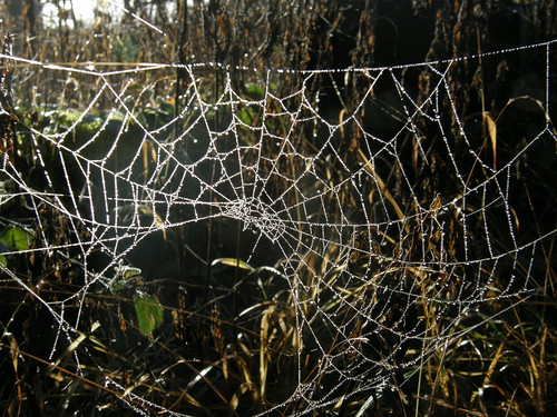 Dew-drop web