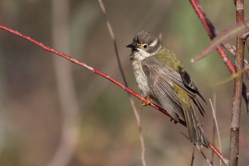Brown-headed Honeyeater 2012-11-16 (_MG_6866)