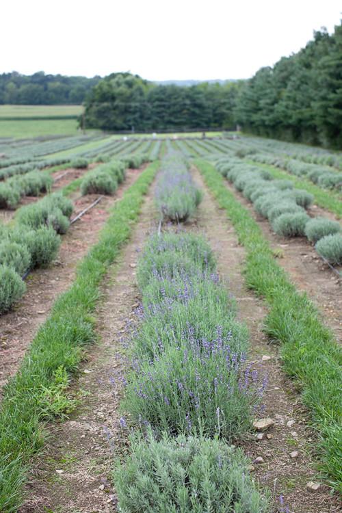 Lavender Farm 8