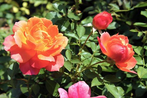 Disneyland-Rose-2