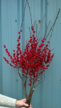 red ilex winter branches